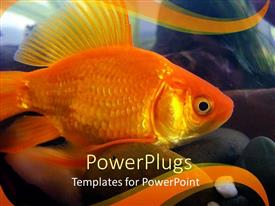 PPT theme having goldfish close up, aquarium, gold background