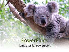 Slides having koala bear laying on tree branch