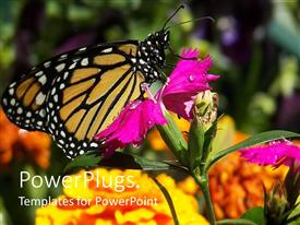 Colorful PPT layouts having a large butterfly resting on a wide purple flower
