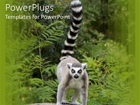 Elegant theme enhanced with a large ring tailed lemur standing in its natural habitat