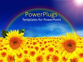 PPT theme having lots of sun flowers over a field with rainbow