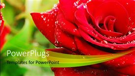 PPT theme with a close up view of a lovely red rose with water droplets on it
