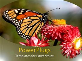 Slides with monarch butterfly on red and orange flowers, nature