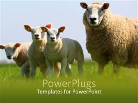 Audience pleasing slide set featuring mother sheep and its three lambs in a field