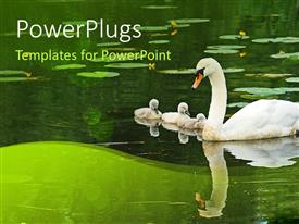 PPT theme having big swan with baby swans in pond with reflection in pond