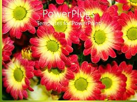 Beautiful PPT theme with multiple beautiful red and yellow chrysanthemum flowers planted in garden