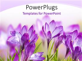 Amazing PPT theme consisting of a number of purple flowers with white background