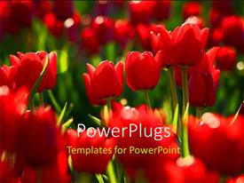 Presentation theme featuring a number of red flowers with blurr background