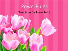 Beautiful PPT theme with a number of roses with pinkish lines in the background