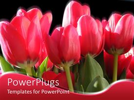 Beautiful presentation with a number of tulips with blackish background