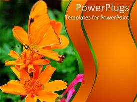 Colorful PPT layouts having orange colored butterfly perching on an orange colored flower