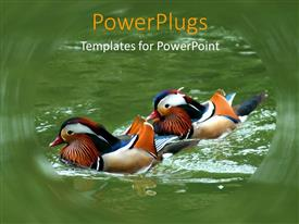PPT theme enhanced with a pair of wood ducks enjoying in the lake