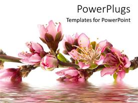 Colorful PPT layouts having the peach flowers on top of flowing  water with white background