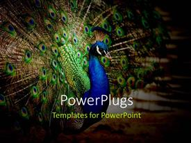 Colorful PPT theme having a peacock with its wings open and place for text