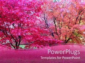 Audience pleasing presentation theme featuring pink Japanese maple trees in fall autumn season with pink wave border
