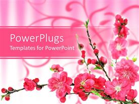 PPT theme enhanced with pink spring cherry tree blossoms on gradient pink to white background