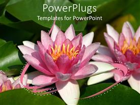 Presentation having pink water lily flowers close up with green leaves