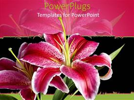 Elegant presentation design enhanced with pink and white lily on black and pink background