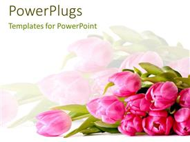 Presentation enhanced with plain white background with bright pink tulips