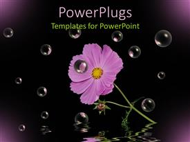 Amazing presentation theme consisting of purple cosmos flower with stem and leaves, black background, bubbles, water reflection