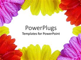 Elegant PPT layouts enhanced with purple, yellow and red daisies with dew on them framing white background