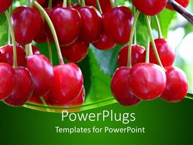 Presentation theme enhanced with red ripe cherries on a tree with green background