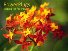 Audience pleasing presentation theme featuring red yellow and orange orchid flowers on blurred green background