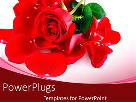 Elegant presentation design enhanced with rose flower petals close up placed on white background
