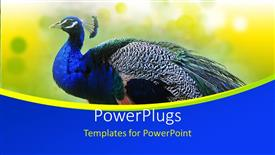 Beautiful PPT theme with beautiful Peacock on abstract yellow  background