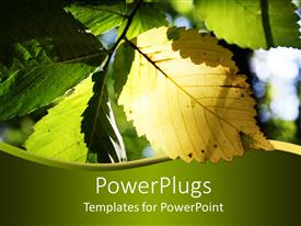 PPT theme with sun shining on yellow and green elm leaf making it glow