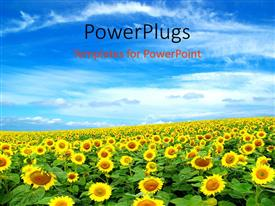 Colorful presentation theme having a sunflower farm with clouds in the blue sky