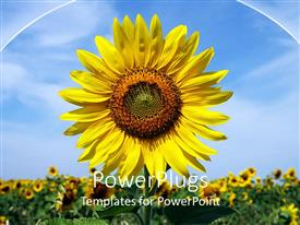 Beautiful theme with a sunflower with a number of sunflowers in the background