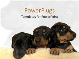 PPT theme featuring three cute black and brown puppies on fuzzy rug