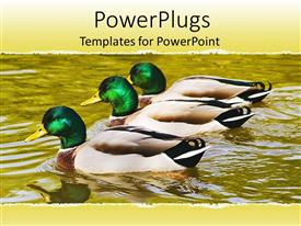 Amazing slide deck consisting of three mallard ducks floating on pond