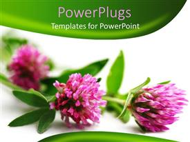 Presentation with three pink flowers on a white and green background