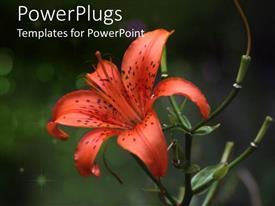 PPT theme having tiger lily flourishing on blurry background