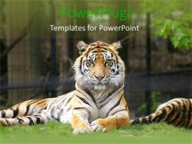 Presentation theme featuring tiger lying on grass and looking on in zoo