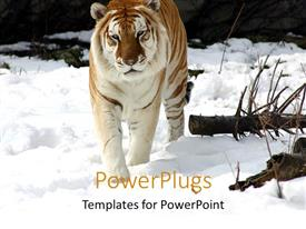 Elegant PPT layouts enhanced with a tiger walking on the ice