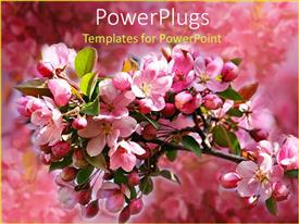 Presentation theme with tree branch with pink apple blossoms