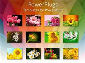 PPT theme enhanced with twelve depictions of flowers, pink tulips, sunflowers, white flowers, yellow, white pink and yellow flowers