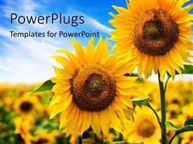 Presentation design enhanced with two beautiful sunflowers with others on a blurry background