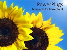 Colorful PPT theme having two large yellow sun flowers on a blue background