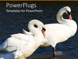 Colorful PPT layouts having two swans standing in water with curved necks, pair of swans