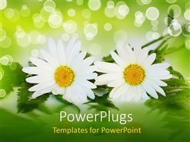 Slide set consisting of two white daisy flowers with ferns, green and white bokeh effect background