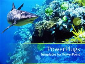 Audience pleasing PPT layouts featuring underwater coral reef ocean with shark and small fish