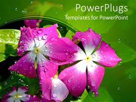 Slides consisting of violet flower with water drops in a morning with green background