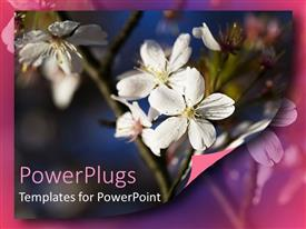 Elegant theme enhanced with white apple blossoms on branch, flowers