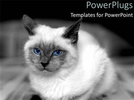 Beautiful theme with white colored cat with black ears and piercing blue eyes on black background