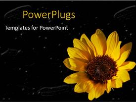 Beautiful presentation with yellow sunflower close up in black background with white particles