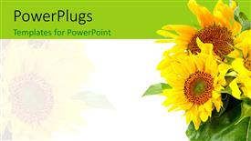 Presentation consisting of a number of sunflowers with white background